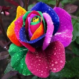 China Wholesale 10pcs Colorful Rose Flower Seeds