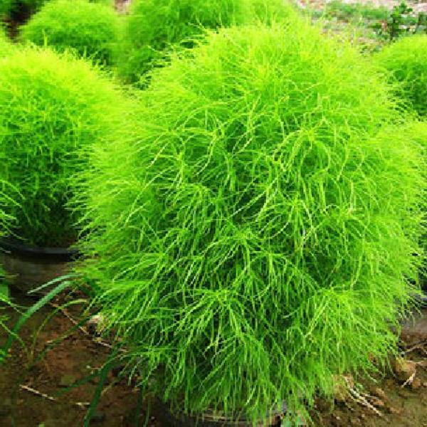 100 kochia scoparia grass plants seeds us