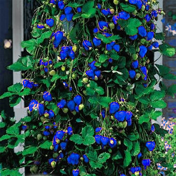 500Pcs Blue Strawberry Rare Fruit Vegetable