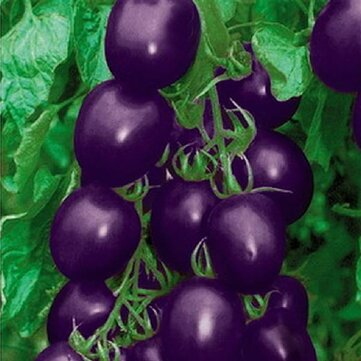 20Pcs Purple Tomato Seeds Cherry Tomatoes